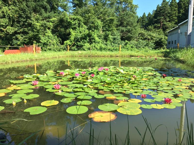 東北工場の裏には蓮が浮かぶ池があります。